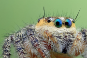 Look Into My Eyes: Macro Photographs Reveals Hypnotic Gaze Of Four-Eyed Jumping Spiders