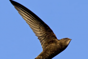 This Bird Keeps Flying For 10 Months Straight